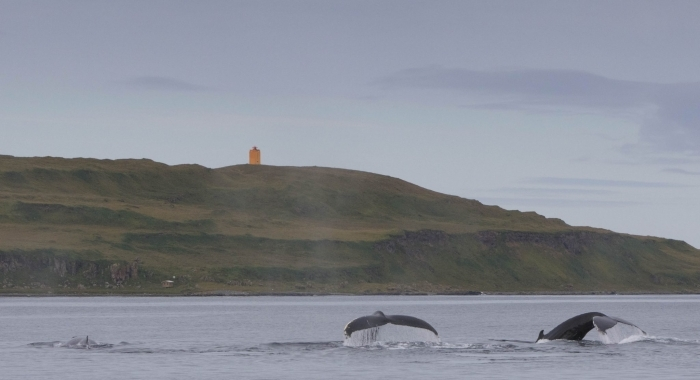 020918 3 humpbacks and Grimsey