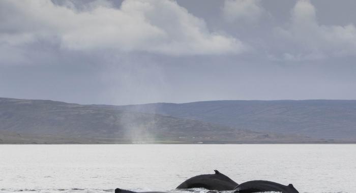 020918 3 humpbacks