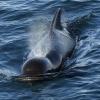 020918 close pilot whale
