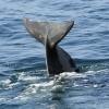 020918 pilot whale tail