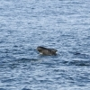 020918 young pilot whale