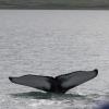 030718 close humpback fluke