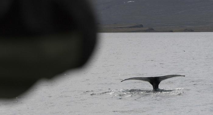030718 humpback close fluke