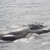030718 humpback