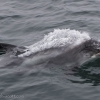 030818 white beaked dolphin