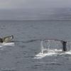 030918 2 humpbacks close