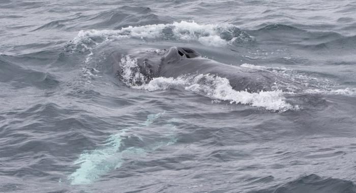 030918 humpback head