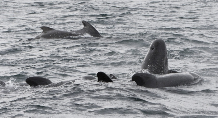 030918 pilot whales Holmavik