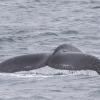 040718 humpback tail