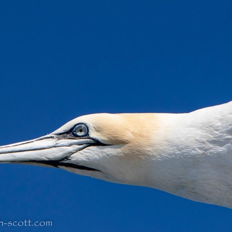 040721-gannet-eye