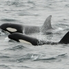 orcas in iceland