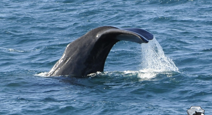 0408 sperm whale tail