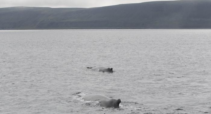 040818 2 humpbacks
