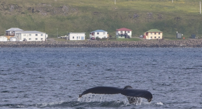040818 humpback in front of Drangsnes
