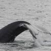 040818 humpback tail