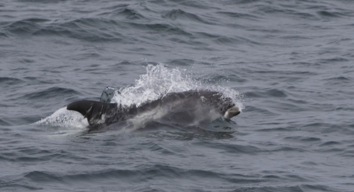 040818 whitebeaked dolphin