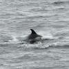 0409 dolphin Olafsvik