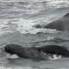 0409 young pilot whale close Olafsvik