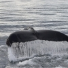 040918 close humpback tail