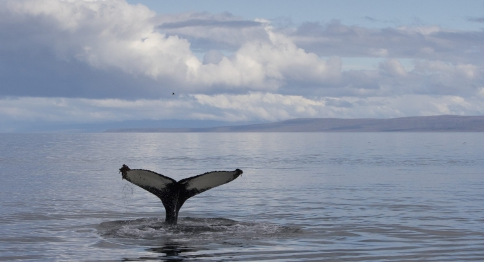040918 humpback tail in landscape