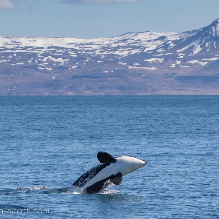 050521-baby-orca-breach