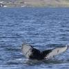 050718 afternoon humpback fluke ID