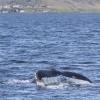 050718 afternoon humpback fluke