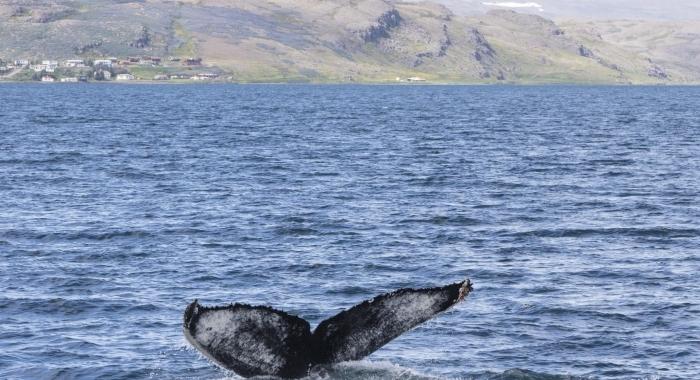 050718 humpback fluke ID 2