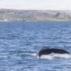 050718 humpback fluke and Holmavik