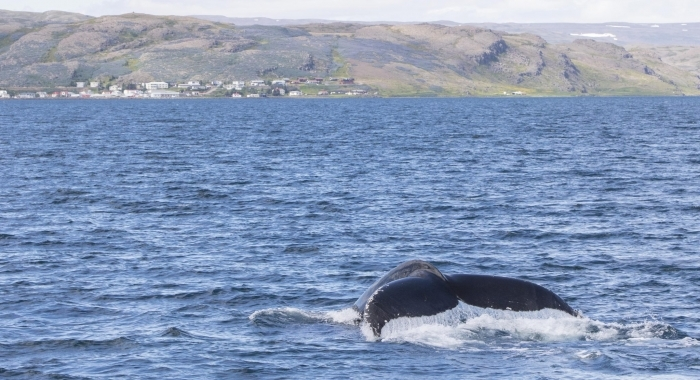 050718 humpback fluke and Holmavik