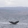 050718 morning humpback fluke V