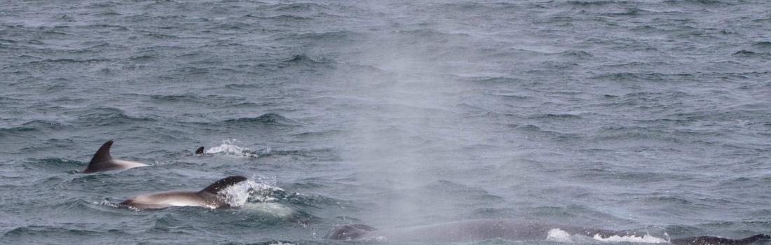 Surfing dolphins in Hólmavík