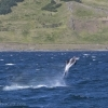 050818 leaping whitebeak dolphin