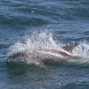 050818 whitebeak dolphin