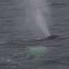 050918 humpback close blow