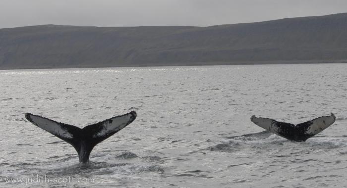050918 humpback darwin and Torch