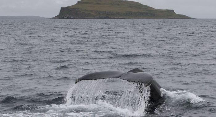 050918 humpback tail and Grimsey