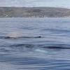 060718 2 humpback whales and Holmavik
