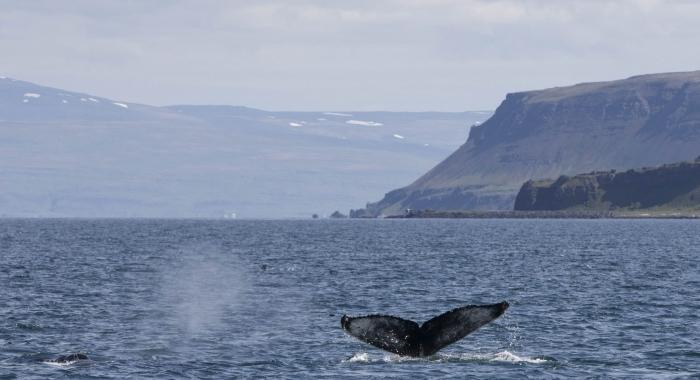 060718 2 humpbacks in landscape