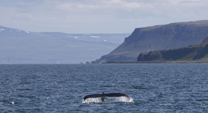 060718 humpback in landscape