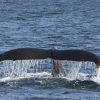 060918 nice humpback fluke