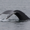 070718 humpback close fluke