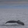 070718 humpback fluke again