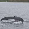 070718 humpback fluke
