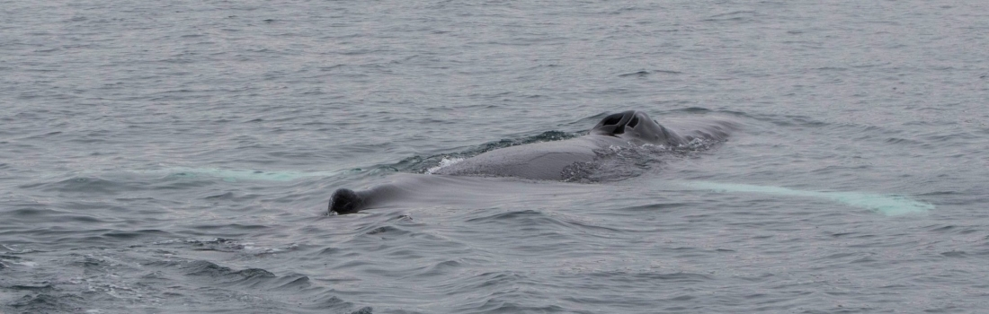 Humpbacks in the north and sperm whales in the west again