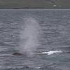 080718 humpback blow