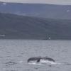 080718 humpback fluke landscape