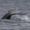 080718 humpback tail