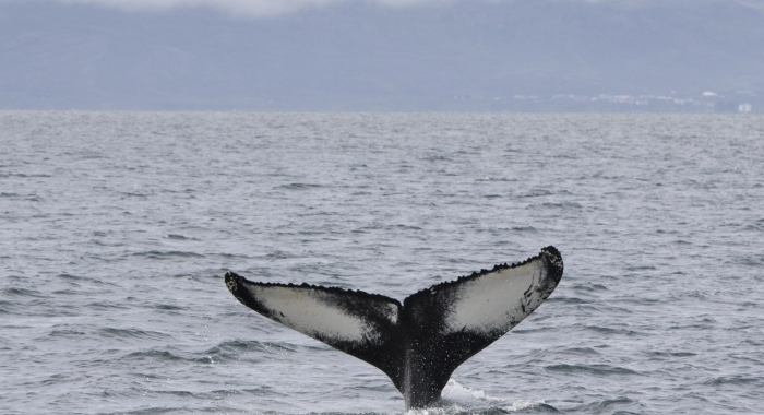 080818 humpback tail Example
