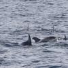 080818 whitebeak dolphins
